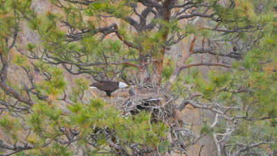 big bald eagle feeding offspring, feeding time at an american eagle family with young eaglets