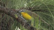 Yellow-Breasted Chat Perched In Pine Tree