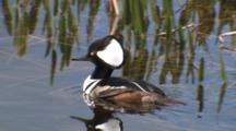 Hooded Merganser Swimming, Diving, Flapping Wings