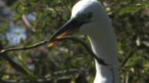 Great Egret In High Breeding Plumage Carrying Stick To Nest