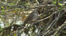 Chipping Sparrow Perched