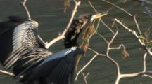 Anhinga Carrying Stick In Mating Display