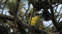 Kirtland's Warbler Singing On Breeding Grounds