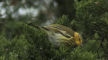 Cape May Warbler Foraging In Cedar Tree