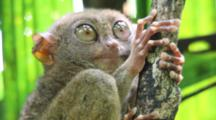 Philippines Tarsier (Tarsius Syrichta) Grabbing Onto A Tree And Opening Its Eyes Wide Open With Green Background.