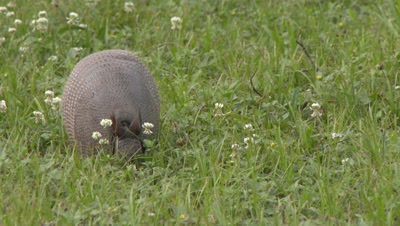 Nine-banded Armadillo walking through a grassy field