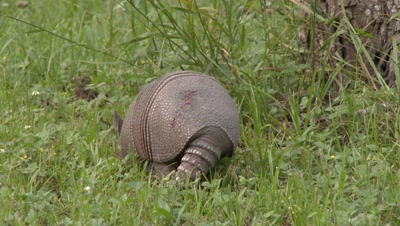 Nine-banded Armadillo, walking through a grassy field