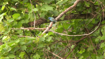 A small blue bird sitting on the branch and then flies away
