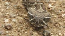 Western Rattlesnake Head Section Closeup