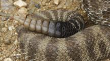 Western Rattlesnake Tail Section Closeup Rattling
