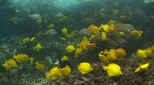 Large School Of Yellow Tangs, Lavender Tangs And Other Fish In Surge