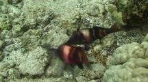 Manybar Goatfish Pair Hunting In Rocks