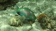 Male Redlip Parrotfish Browsing Coral And Rock Surfaces Followed By Christmas Wrasse