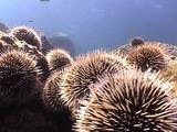 Field Of Brown Urchins