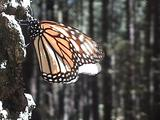 Monarch Butterfly Warms Up Before Flying Away