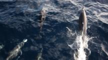 Bottlenosed Dolphin Riding Bow Of Boat
