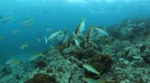 Mexican Goatfish Cleaning Station By Barberfish