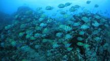 Convict Tangs School Over Reef