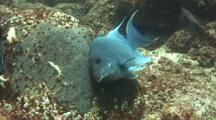 Giant Damselfish Protects And Cleans Eggs