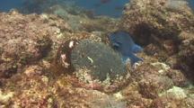 Giant Damselfish Protects Nest