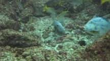 Trigger Fish Protect Their Nest