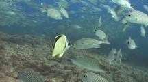 Barberfish Cleans Spottail Grunts