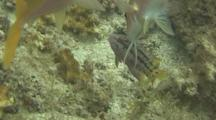 Mexican Hogfish Clean Mexican Goatfish