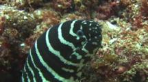 Breathing Mouth Of A Zebra Moray Eel