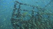 Ship Wreck Covered In Spottail Grunt Fish Fry Hunted By Yellow Snapper