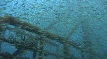 Ship Wreck Covered In Spottail Grunt Fish Fry