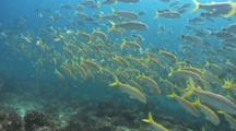 Fade From Mexican Goatfish To Spottail Grunt Schools