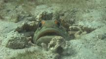 Jawfish Spits Dead Coral Towards The Camera