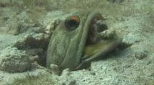 Jawfish Spits Dead Coral To The Side Of His Warren