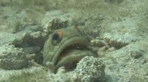 Jawfish Spits Dead Coral At The Camera