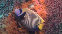Emperor Angelfish,