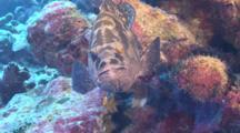 Marbeled Grouper Facing Camera