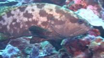 Camera Approaches Marbeled Grouper