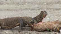 Komodo Dragons Feeding On Goat