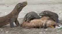Komodo Dragons Feeding On Goat