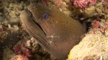 Moray Eel With Cleaner Shrimps