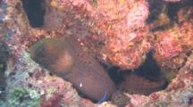 Moray Eel With Cleane Wrasse