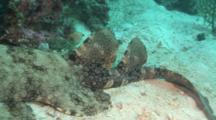 Wobbegong Shark, Camera Pans From Head To Tail