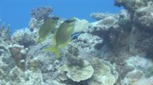 Rabbitfish Cleaned By Cleaner Wrasse