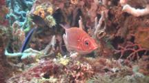 Squirrelfish And Cleaner Wrasse