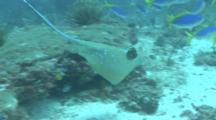 Camera Follows Blue Spotted Stingray