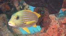 Yellow-ribbon Sweetlips Under Coral