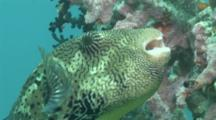 Giant Pufferfish Feeding On Coral