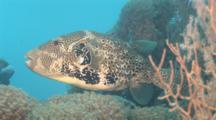 Giant Pufferfish