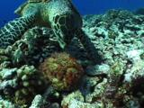 Hawksbill Turtle Confuses Stonefish With Food