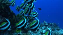 Camera Approaches Group Of Bannerfish On Tropical Reef
